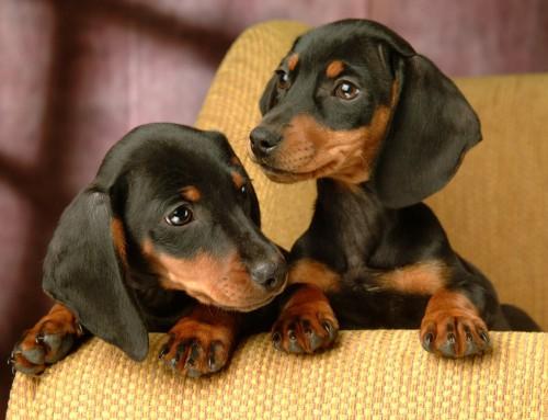 Ponderosa Pups